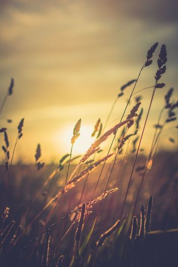 Last days of Summer... Nature Wheat Sunset Field Grass Sky No People Rural Scene Close-up Details Outdoors Faversham England Scenics Summer Photooftheday Day Plant Photography Shadow Explore Landscape EyeEm Best Shots Nikon Tones