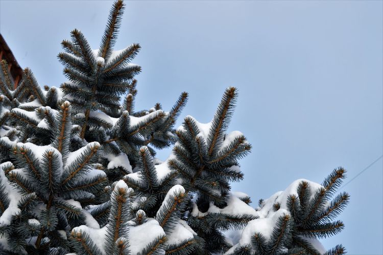 Branch Christmas Tree Close-up Cold Temperature Fir Tree Low Angle View Nature Scenics Snow Tree