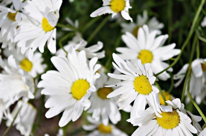 Daisy Daisy's Flowers Nature