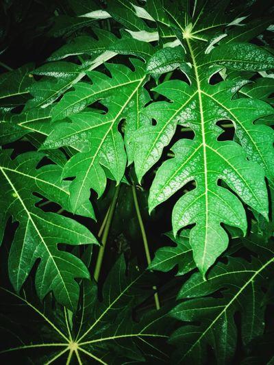 hojas Leaf