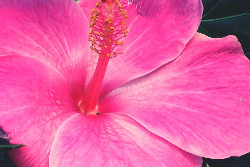 Macro_flower Bright Pink Flower Of Hawaii Nature Open Edit Flowers Hibiscus Closeup