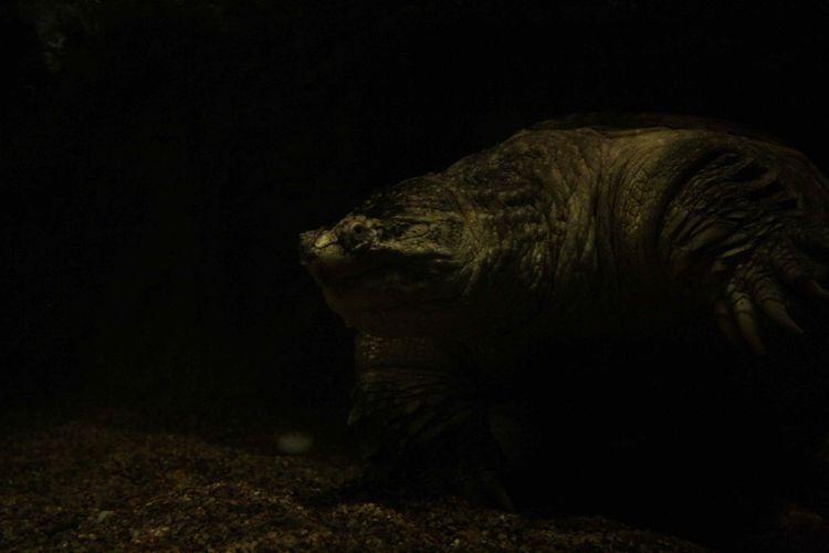 Big 'ol Turtle