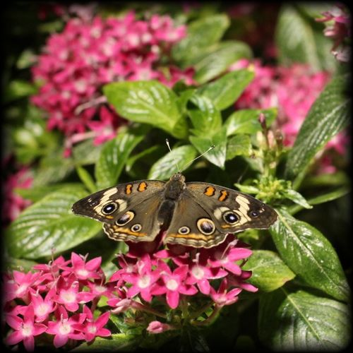Close-up of butterfly on pink flower