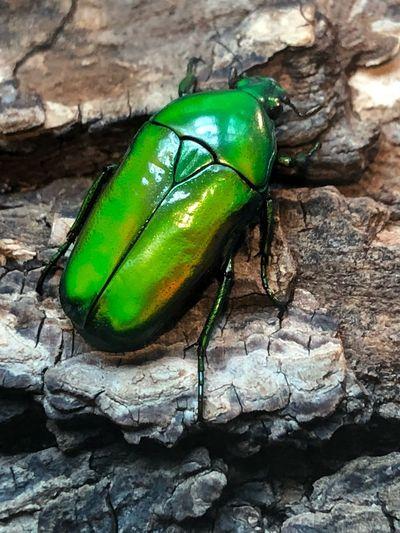 Kever Beetle