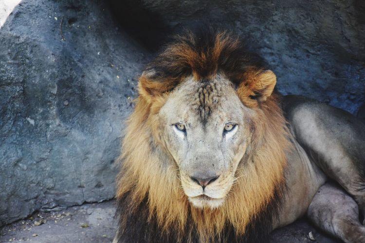 Portrait of lion relaxing against rock