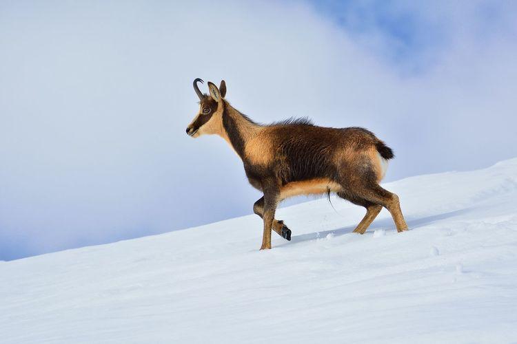 Deer on snow covered field against sky