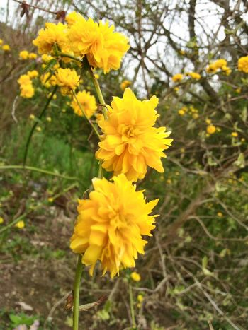Fleur Printemps Fleurs Nature Beauty Nature Beauty In Nature Yellow Flower Jaune🌻 Flower Head Flower Yellow Springtime Petal Blossom Close-up Plant Blooming