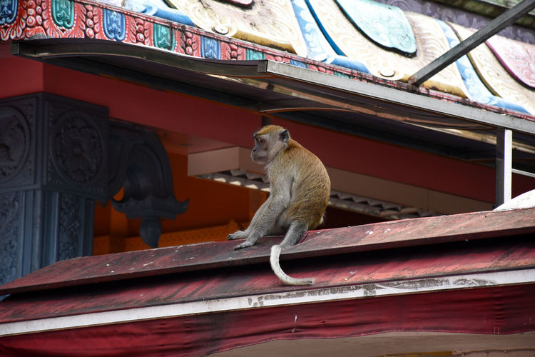 Crab-eating macaques, macaca fascicularis at caves villa next to batu caves in malaysia