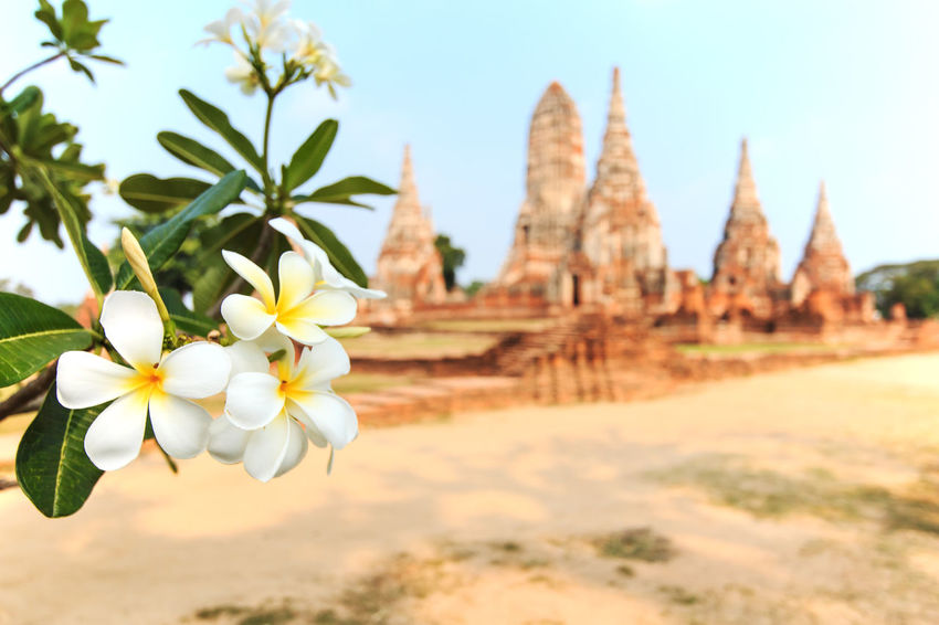Temple Phra Nakhon in Ayutthaya, Thailand Ayutthaya Beauty In Nature Blooming Blossom Botany Close-up Day Flower Flower Head Focus On Foreground Fragility Freshness Growth In Bloom Nature No People Outdoors Petal Plant Pollen Selective Focus Sky Tranquility White White Color