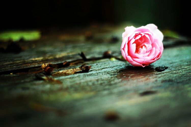 Lonely Rose. Flower Close-up Wood - Material No People Petal Flower Head Beauty In Nature Freshness Nature EyeEm Nature Lover EyeEmNewHere Day Lighting Setup Rose🌹 Rose - Flower