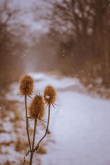 Dried thistle along the trail on a snowy day Plant Nature Snow No People Beauty In Nature Cold Temperature Focus On Foreground Winter Vulnerability  Flower Fragility Close-up Flowering Plant Growth Freshness Day Outdoors Water Snowing Flower Head Wilted Plant Thistle Trail Hiking Winter
