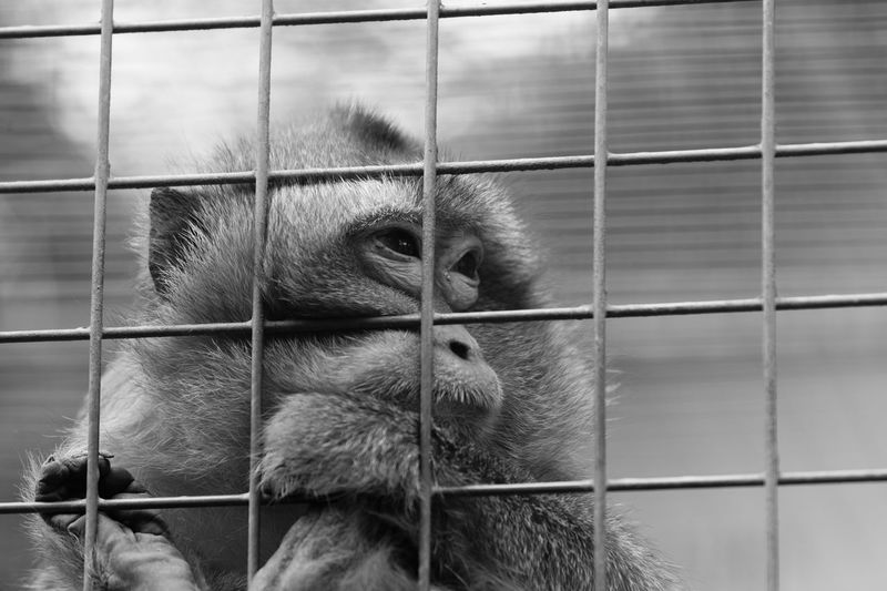 Prisoner's cage Sad Monkey Primate Animal Themes Mammal Cage Animal Animals In Captivity One Animal Close-up No People Trapped