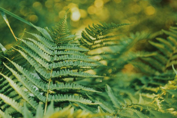 Backgrounds Beauty In Nature Close-up Coniferous Tree Day Fern Fir Tree Focus On Foreground Freshness Frond Full Frame Green Color Growth Leaf Leaves Nature Needle - Plant Part No People Outdoors Pine Tree Plant Plant Part Selective Focus Tree