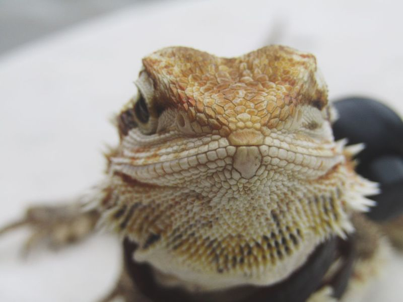 Beardeddragon Beardeddragons Animal Animals Pet Lizard Exotic