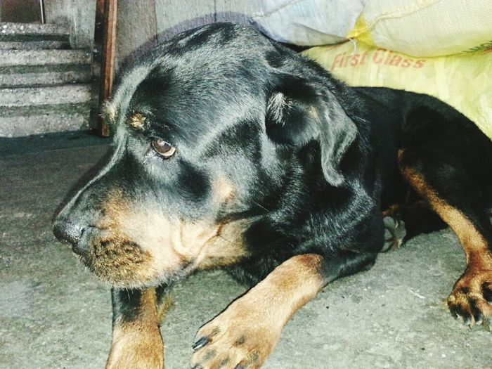 Guilty Guilty Face Rottweiler Doglover Honeytherott