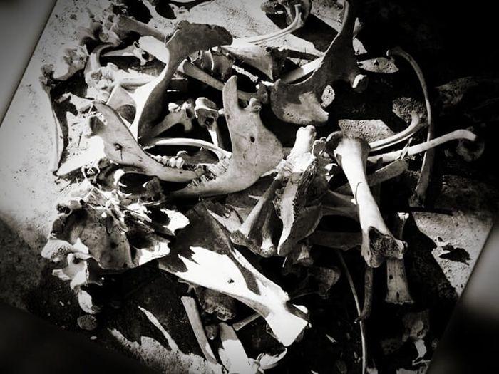 Skulls And Bones Cows