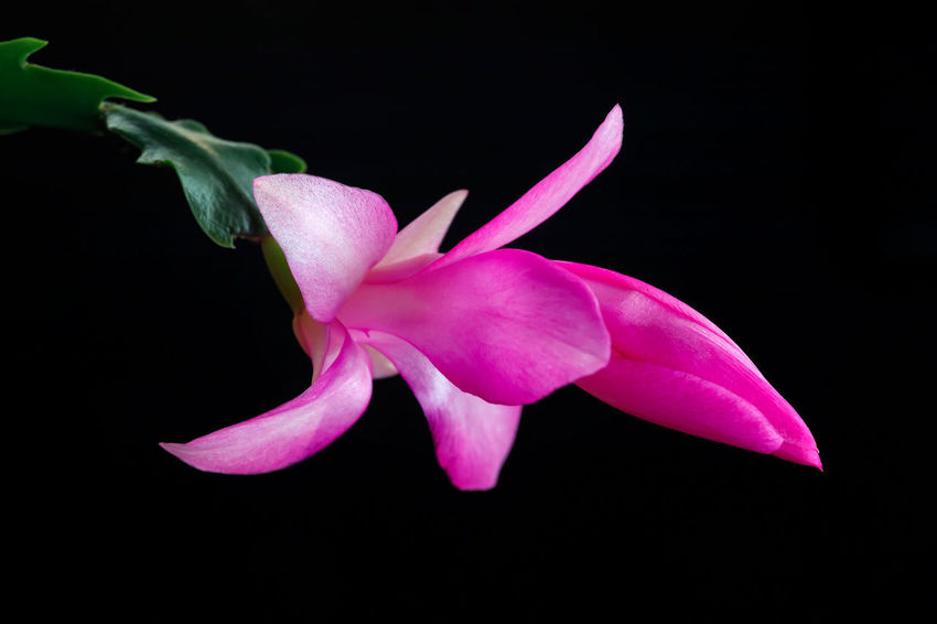 Blossoming flower, Christmas cactus. Flower of succulent plant schlumberger isolated on black base. Flower Flowering Plant Fragility Petal Vulnerability  Beauty In Nature Freshness Plant Studio Shot Close-up Inflorescence Flower Head Pink Color Black Background Growth No People Nature Botany Purple Isolated Christmas Cactus Blossoming  Bulb Bud Schlumbergera