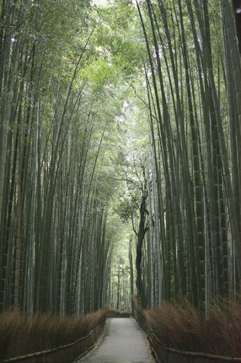 Bamboo grove at Arashiyama Tree Nature Beauty In Nature Bamboo Grove No People Scenics Tranquility Green Color Outdoors Growth Kyoto,japan Japan Travel Destinations Travel Kyoto Arashiyama