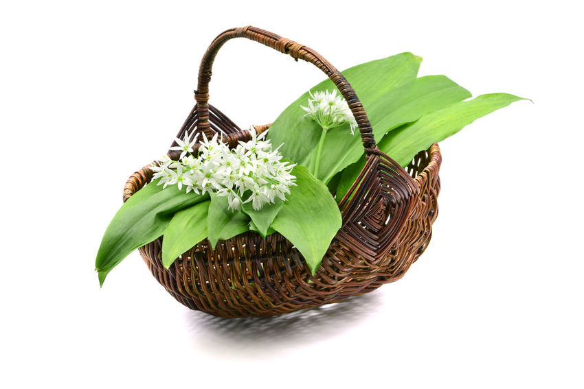 ramson wild garlic leaves and flower heads in a basket on white isolated background Bärlauch  Food And Drink Garlic Isolated Vegetarian Food Basket Bärlauch Sammeln Bärlauchblüte Bärlauchtime Flower Flower Head Flowering Plant Food Freshness Green Color Indoors  Leaf Plant Plant Part Ramson Studio Shot Vegetable White Background Wild Garlic Wild Garlic Flowers