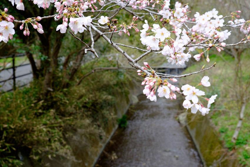 焼津花沢の里 Beauty In Nature Blooming Blossom Flower Flower Head Flowerporn Flowers Fragility Freshness Fujifilm Fujifilm X-E2 Fujifilm_xseries Growth Japan Japan Photography Nature Petal Yaizu 焼津 花 花沢の里