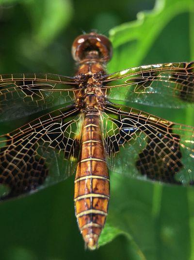 Dragonfly Macro Photography Macro Beauty Insects