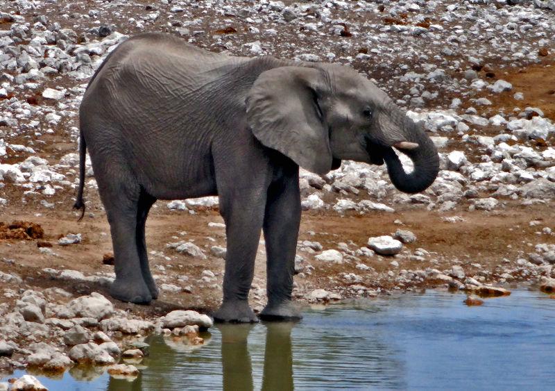 Africa Animal Themes Day Elefant Elephant Etosha National Park Mammal Namibia Namibia Landscape NamibiaPhotography Nature No People Outdoors Travel Photography Traveling Travelphotography