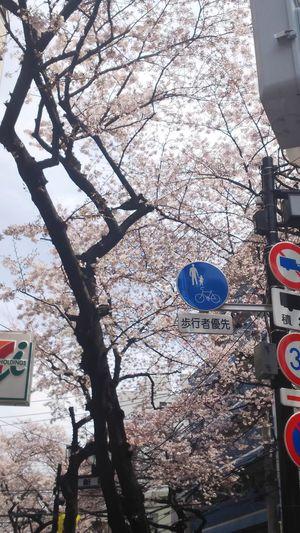 家の近くに咲いていた桜です!