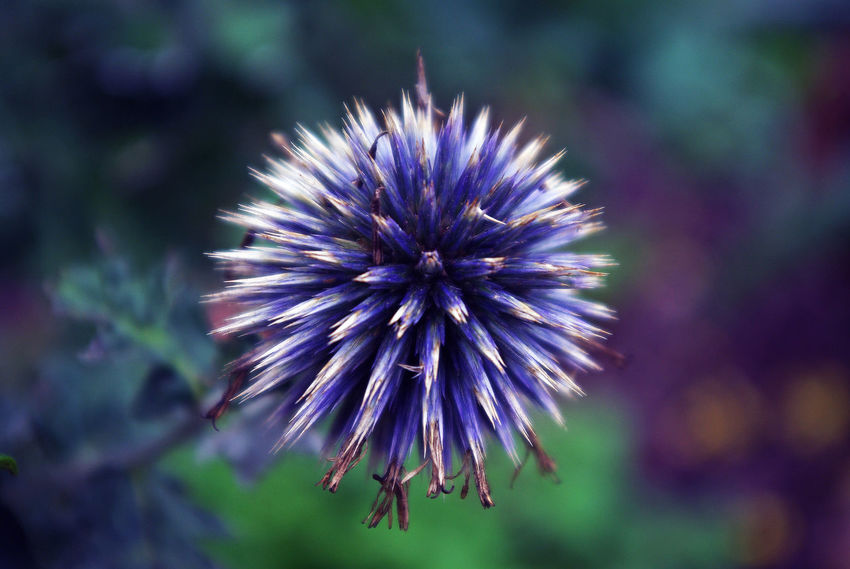 Don't get dizzy...Beauty In Nature Blossom Botany Close-up Colors and patterns Day Flower Flower Head Flowers Focus Focus On Foreground Fragility Freshness Growth In Bloom Macro Nature Petal Plant Purple Purple Flower Selective Focus Single Flower Maximum Closeness Thistle