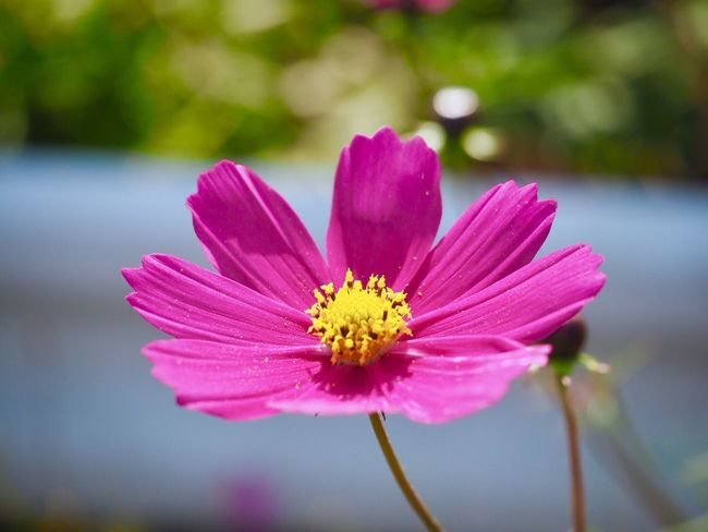 Flower Fragility Freshness Petal Beauty In Nature Nature Flower Head Growth Pink Color Focus On Foreground Close-up Blooming No People Day Pollen Outdoors Plant Japan