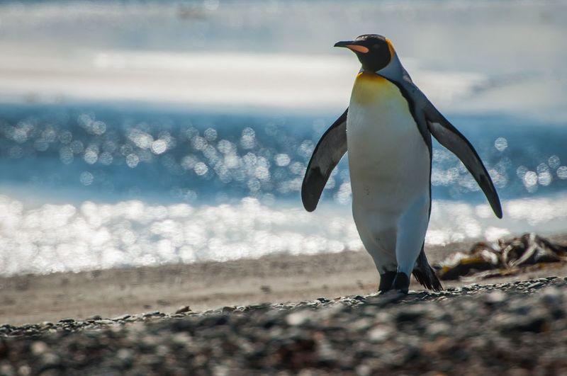 Wildlife EyeEm Nature Lover EyeEm EyeEm Best Shots Wildlife Photography Wildlife & Nature Elephant Seals Chile Bahia Inutil Royal Penguin Penguin