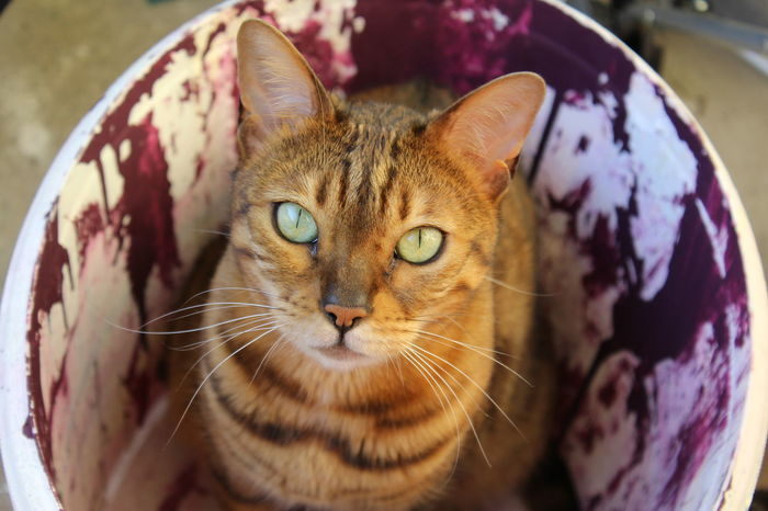 Cats Of EyeEm Cats 🐱 FUNNY ANIMALS Paint Raw Sitting Animal Themes Canon Cat Eyes Cat Lovers Close-up Color Domestic Animals Domestic Cat Feline Headshot Indoors  No Edit/no Filter No People One Animal Original Photo Paint Bucket Pets Watching Whisker