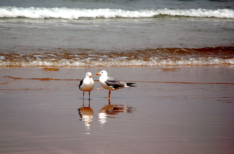 Animal Animal Themes Animal Wildlife Animals In The Wild Beach Beauty In Nature Bird Day Land Motion Nature No People Ocean Outdoors Reflection Sand Sea Seagull Two Animals Two Birds Vertebrate Water Wave