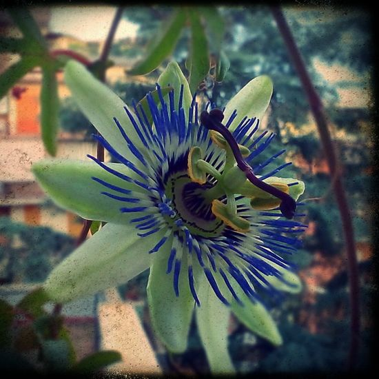 The Essence Of Summer Passionflower Colors Of Nature Enjoying Life Homesweethome
