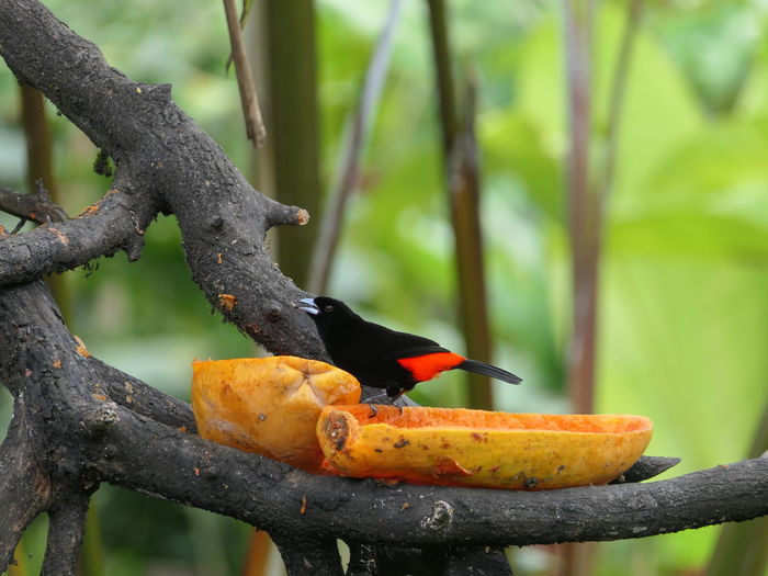 Bird Birds Bird Photography Beauty In Nature Focus On Foreground Zoom No People Noedit Nofilter Lumix Costa Rica Tree Perching Bird Foraging Eating Fruit Branch Feeding  Tropical Climate Animal Themes Tropical Bird Papaya Tail Rainforest Tropical Rainforest