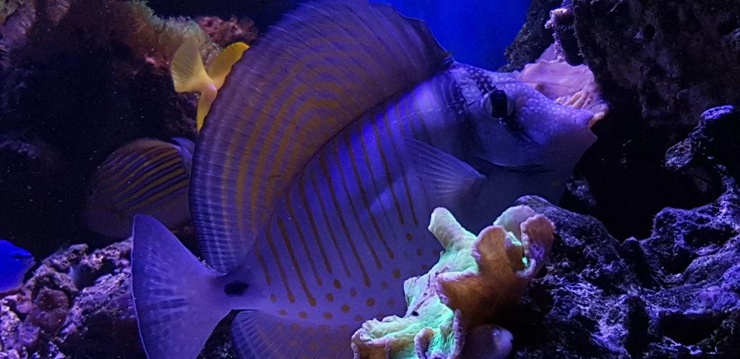 Saltwater Aquarium Zebrasoma Desjardini UnderSea Sea Life Sea Underwater Multi Colored Blue Aquarium Fish Tank Soft Coral Fish
