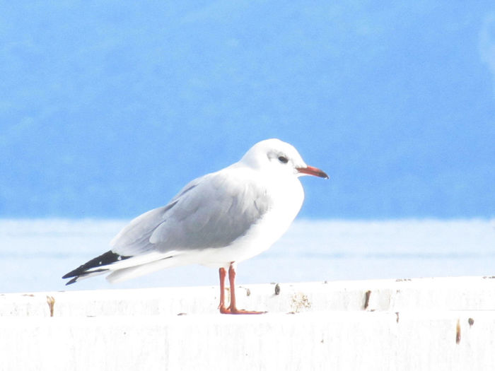 Bird Series Animal Themes Animal Wildlife Animals In The Wild Beauty In Nature Bird Close-up Day Low Angle View Nature No People One Animal Outdoors Perching Sea Seagull Sky White Color