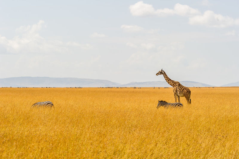 Zebras and giraffe in grassland