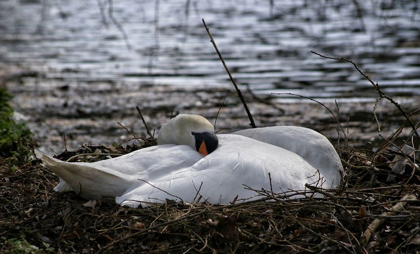 Animal Animal Photography Animals Animals In The Wild Bird Bird Photography Birds Birds Of EyeEm  Birds_collection Natural Beauty Nature Nature On Your Doorstep Nature Photography Nature_collection Naturelovers Naturephotography Photo Photography Photooftheday Swan Swan Lake Swans