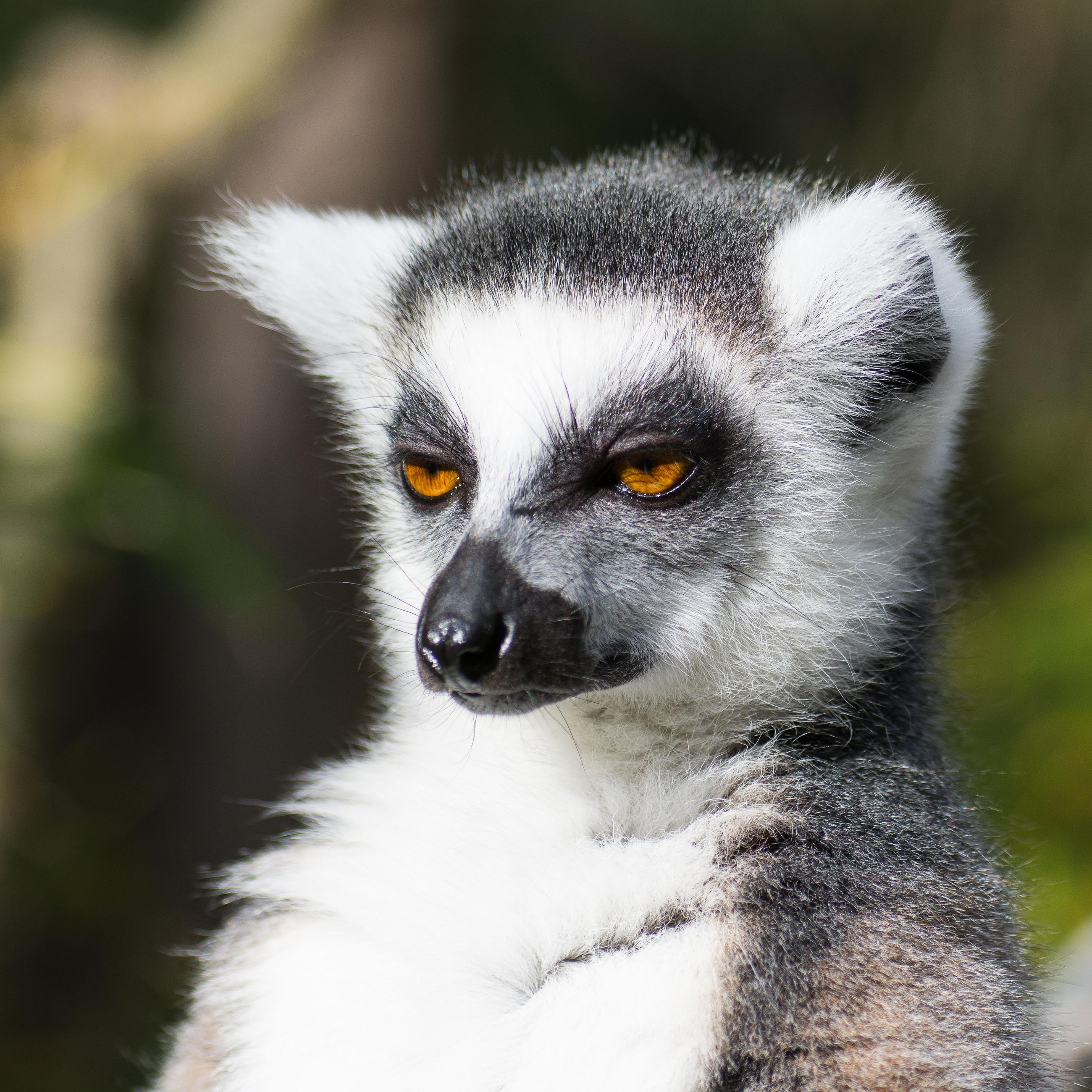 one animal, animal wildlife, animals in the wild, lemur, focus on foreground, mammal, close-up, vertebrate, day, no people, portrait, primate, looking, outdoors, looking away, nature, yellow eyes, animal eye