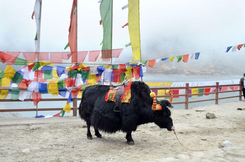 Animal Animal Themes Black Yak Day Flags Hanging Livestock Mammal Multi Colored No People Outdoors Sky Yak EyeEm Selects