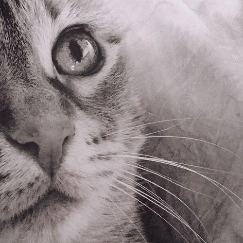 IPS2016Closeup Cat Eyecat Close-up