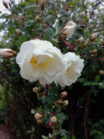 Flower Petal Fragility Nature Beauty In Nature Growth Flower Head White Color Freshness No People Plant Close-up Blooming Outdoors Summerrain Droplets Water Roses Summerrain Beauty Midsummer Rose Rosebud Rose Bush
