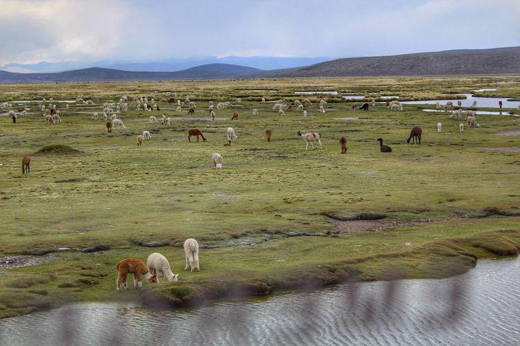 llamas Llamas Water Mountain Agriculture Rural Scene Lake Desert Sheep Animal Themes Landscape