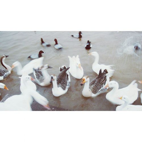 Made with @nocrop_rc Rcnocrop Ducks Lake Lakeview Feedingducks Cute Whiteducks Blackducks EyeEm Eyeemfilter Cutelittlebirdie Enjoyinglife  Frommypointofview Takingphotos ♥♥♥❇