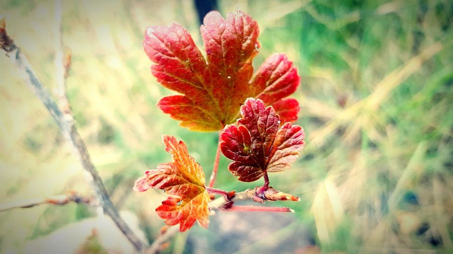 Gooseberry in Fall Fall Fall Beauty Fall Colors Fall Leaves Fall Landscape Leaves Gooseberry Gooseberry Bush Gooseberries Red Close-up Plant Plant Life Botany Stem Fallen Leaf Vein