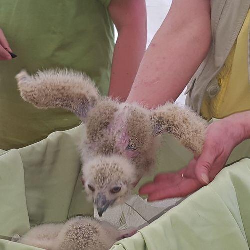 Close-up Baby Owl Outdoors Wildlife Fest Cobleskill New York