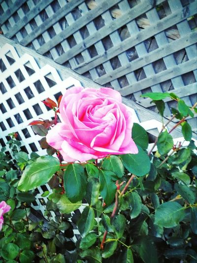 In Bloom Nature Beauty In Nature Blossom Single Flower Flower Head Freshness Fragility Flower Pink Color Oregon Lifestyles Vibrant Color Wild Day Flamboyant Rose Petals The Week On Eyem Love ♥ Rose Collection Nature A Special Gift  Rose - Flower Plant Life