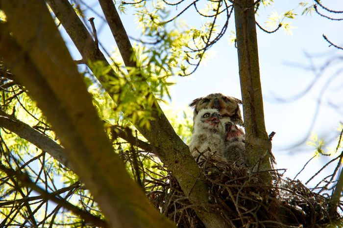 Beauty In Nature Birds Of EyeEm  Great Horned Owl Nature Nest Owl Owlets Owls