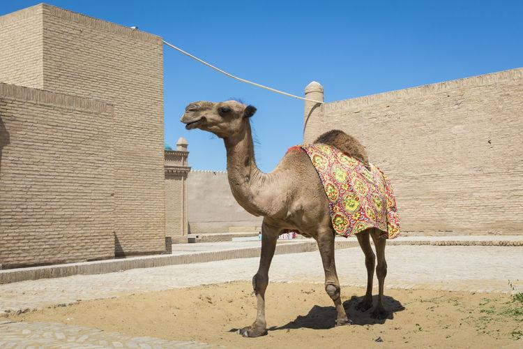 Camel at small