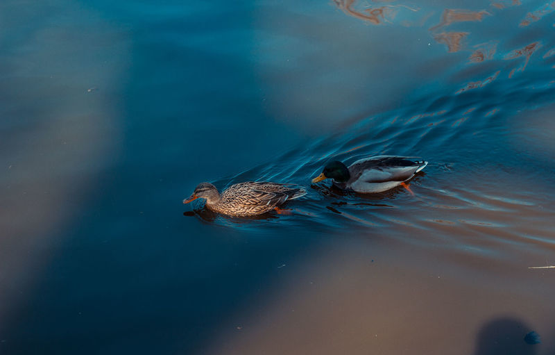 Camera - Canon 550D -Lens - 50 mm f/1.8 Blog : https://www.instagram.com/david_sarkisov_photography/ Animal Themes Animal Animal Wildlife Animals In The Wild Water Swimming Vertebrate One Animal Bird Sea Nature No People Sea Life Underwater Marine Duck Day Outdoors Floating On Water Zoo